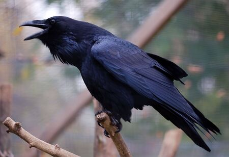 poicture of a big Common Raven (Corvus corax)