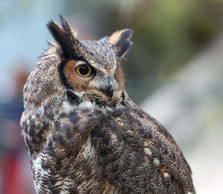 Portrait of a Spotted Eagle Owl (Bubo africanus) Stock Photo