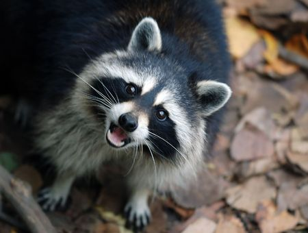 Portrait of a Raccoon (Procyon lotor), looking up