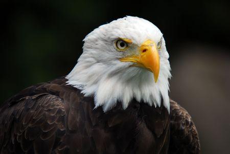 Portrait of an American Bald Eagle (Haliaeetus leucocephalus) Stock Photo - 1906157