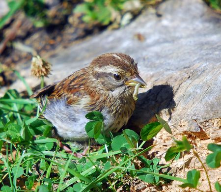 chipping: Picture of a Chipping Sparrow eating