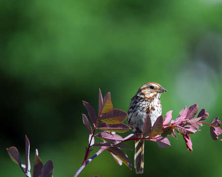 Picture of a Chipping Sparrow eating photo