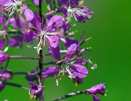 Macro of purple wild flowers (fireweed) with a green background