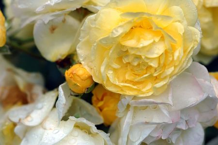 A close-up picture of many yellow roses covered with water droplets