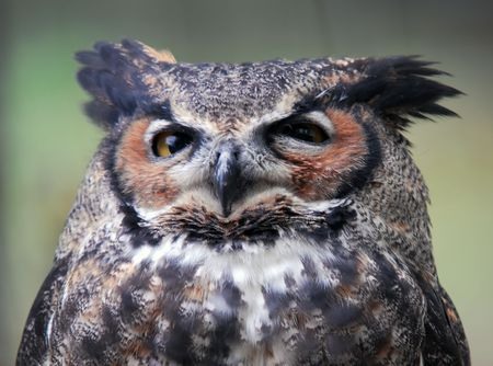 spotted: Portrait of a Spotted Eagle Owl (Bubo africanus) Stock Photo