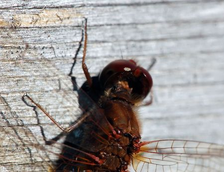 darts flying: Close-up picture of a Common Darter (Sympetrum striolatum) Stock Photo