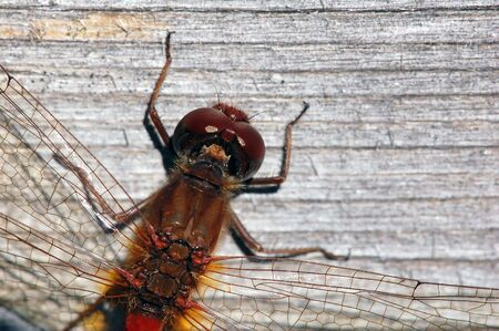 libellulidae: Close-up picture of a Common Darter (Sympetrum striolatum) Stock Photo