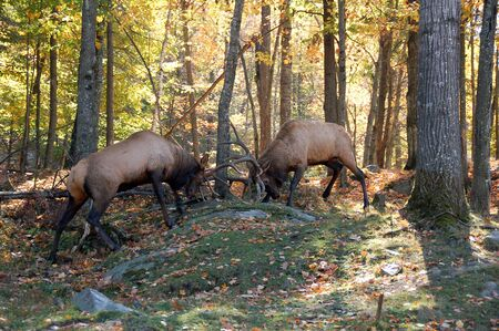 Two mature elks (Cervus canadensis) fighting together in an autumn forest Stock Photo