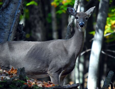 Picture of a White-tailed deer (Odocoileus virginianus) also known as a Virginia Deer 版權商用圖片