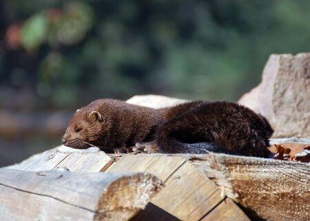 mink: Foto di un americano Mink (Mustela vison), su un palo di legno Archivio Fotografico