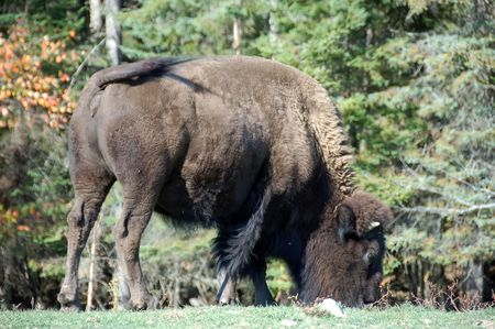 Picture of a Wood Bison also known as Buffalo photo