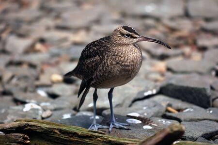 scavenging: A close-up picture of a Whimbrel (Numenius Phaeopus) on the shore Stock Photo