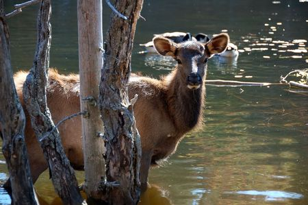 canadensis: A female elk (Cervus canadensis) standing in the water of a lake Stock Photo