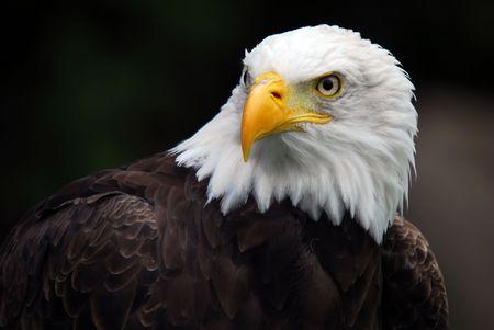 eagle flying: Portrait of an American Bald Eagle (Haliaeetus leucocephalus)