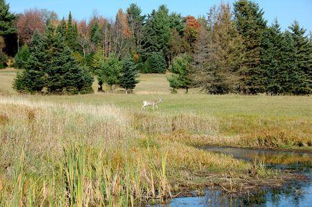 A female white-tailed deer in a farm field Reklamní fotografie