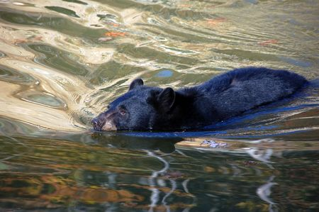 A picture of a beautiful American black bear in a small lake Stock Photo