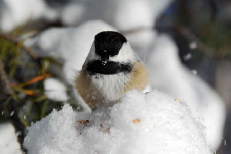 Picture of a Black-capped Chickadee (Poecile Atricapillus) in the snow photo