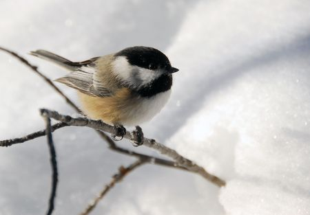 Picture of a Black-capped Chickadee (Poecile Atricapillus) in the snow