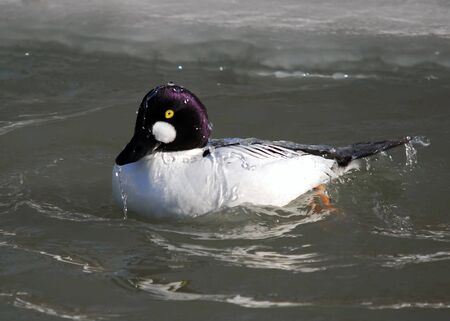 A Common Goldeneye duck in cold water Stock Photo