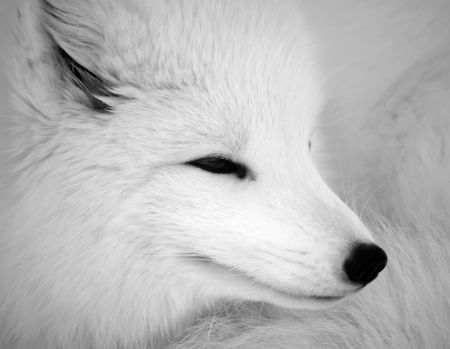 Close picture of an Arctic Fox in B&W Stock Photo
