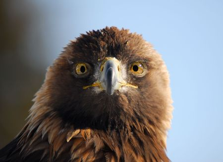 Close-up picture of a Golden Eagle Stock Photo - 2506263