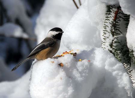 Picture of a Black-capped Chickadee in Winter photo