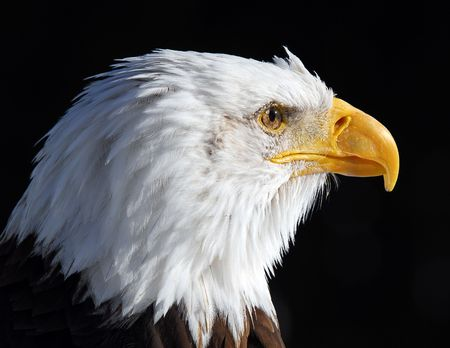 Close-up picture of an American Bald Eagle