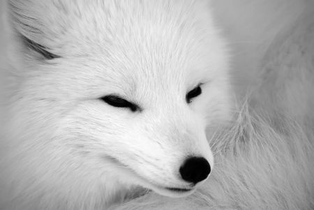 Close picture of an Arctic Fox in B&W Banco de Imagens - 2527664