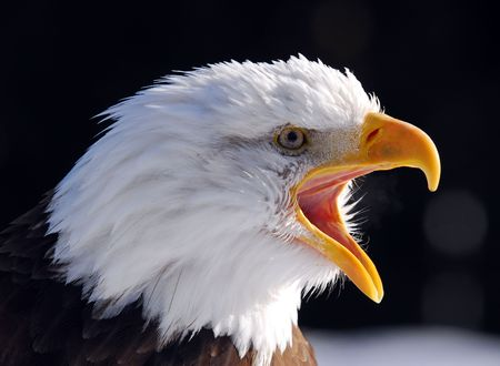 eagle feather: Close-up picture of a Screaming American Bald Eagle