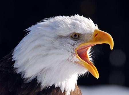 aguilas: Primer plano de una imagen de Screaming American Bald Eagle