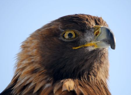 Close-up picture of a Golden Eagle photo