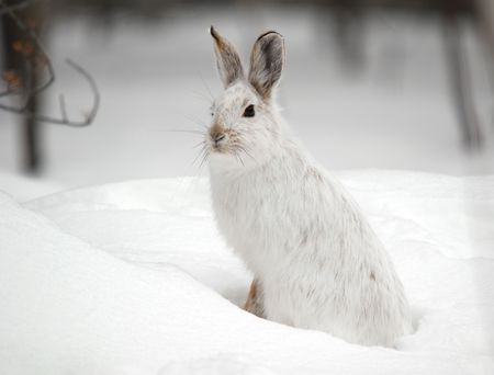 A white Snowshoe Hare in Winter