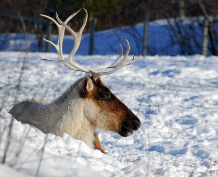 A Caribou relaxing on a sunny and cold day Stock Photo - 2569733