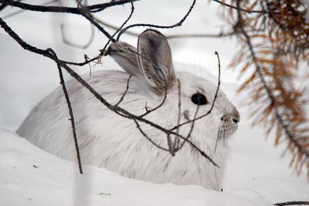 snowshoe: A white Snowshoe Hare in Winter