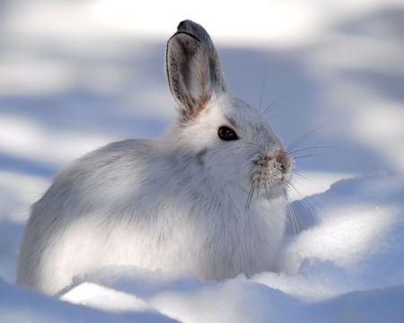 Eine weiße Schneeschuhhase im Winter