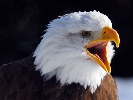 raptor: Close-up picture of a Screaming American Bald Eagle