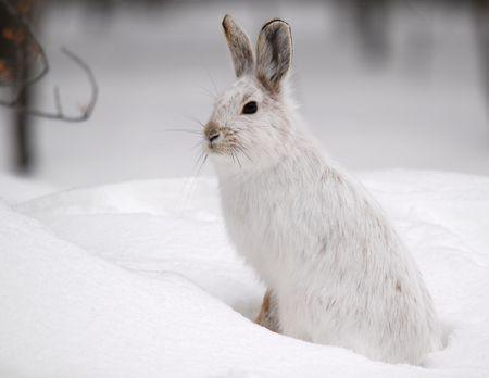 liebre: Un blanco Hare raquetas de nieve en invierno