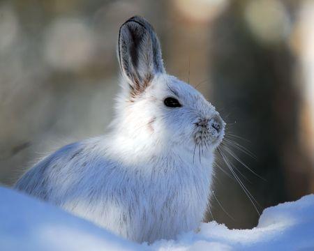 Eine weiße Schneeschuhhase im Winter  Standard-Bild
