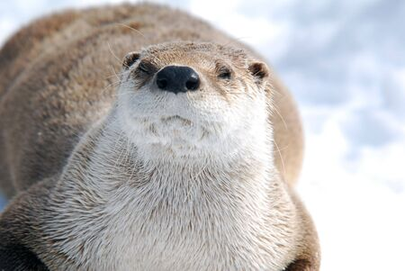 hunter playful: Close-up picture of a River Otter in Winter