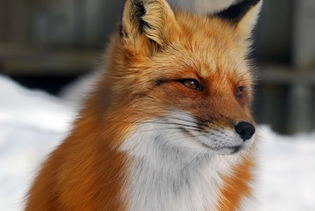 eye red: Close-up picture of a wild Red Fox