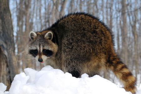 Close-up picture of a Raccoon in Winter Stock Photo