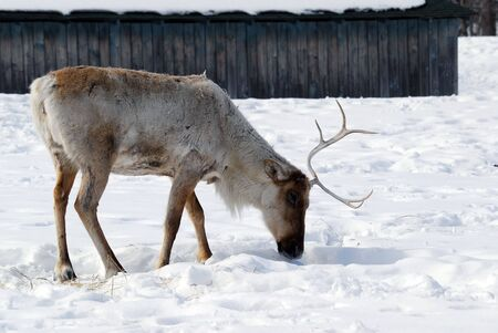 Picture of a Reindeer also known as Caribou photo