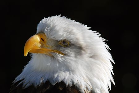 Close-up picture of an American Bald Eagle Stock Photo