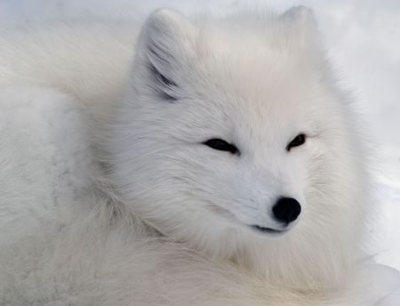 arctic fox: Close-up picture of an Arctic Fox