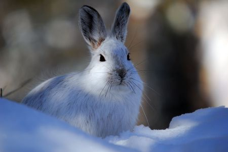 Picture of a wild Snowshoe hare in Winter photo