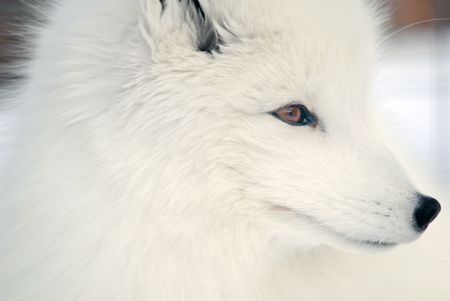 Close-up picture of an Arctic Fox photo