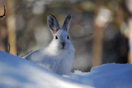 Picture of a wild Snowshoe hare in Winter Stock Photo