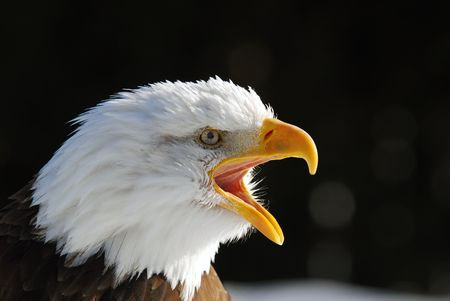 Close-up picture of an American Bald Eagle Stock Photo - 2946037