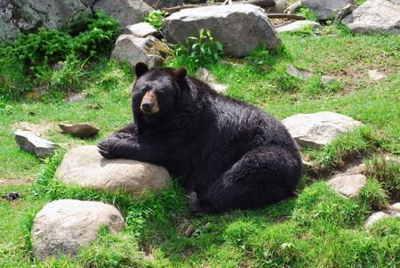 brown: A huge black bear sitting on a rock Stock Photo