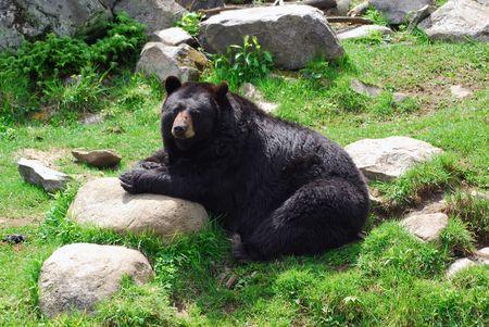 A huge black bear sitting on a rock Stock fotó